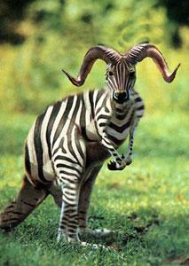 Hasil Persilangan Kangguru dan Zebra