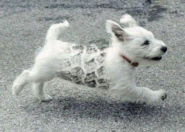 Anjing Habis Terlindas atau Nyangkut Pagar