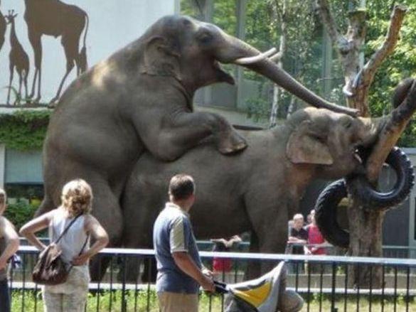 Melihat Gajah Kawin