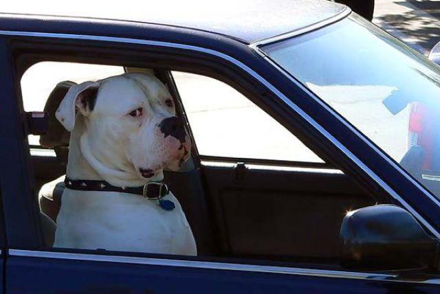 Anjing Menyetir Mobil
